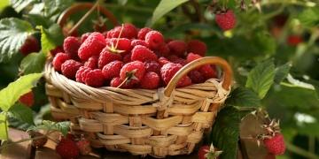 Ostružiník maliník – chutné plody a léčivé listy