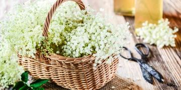 Bez černý – účinná léčivka s dlouholetou tradicí