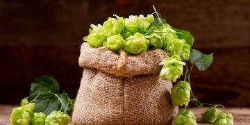 Chmel otáčivý – rostlina nejen k výrobě piva