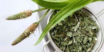 Jitrocel kopinatý – tradiční léčivka na kašel a bohatý zdroj vlákniny