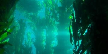 Kelp – nejbohatší přirozený zdroj jódu