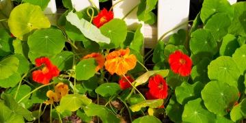 Lichořeřišnice – kvetoucí pomoc pro močové cesty