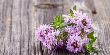 Oregano – bylina, kterou si zamilujete