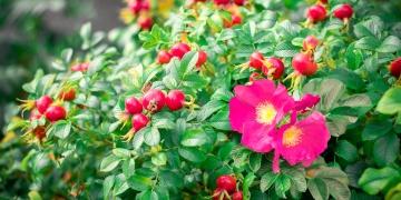 Růže šípková – síla ukrytá za ostrými trny