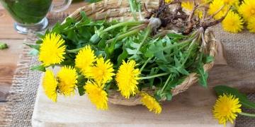 Smetánka lékařská – pro některé plevel, pro jiné bylina