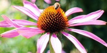 Echinacea – to nejlepší pro Vaši imunitu